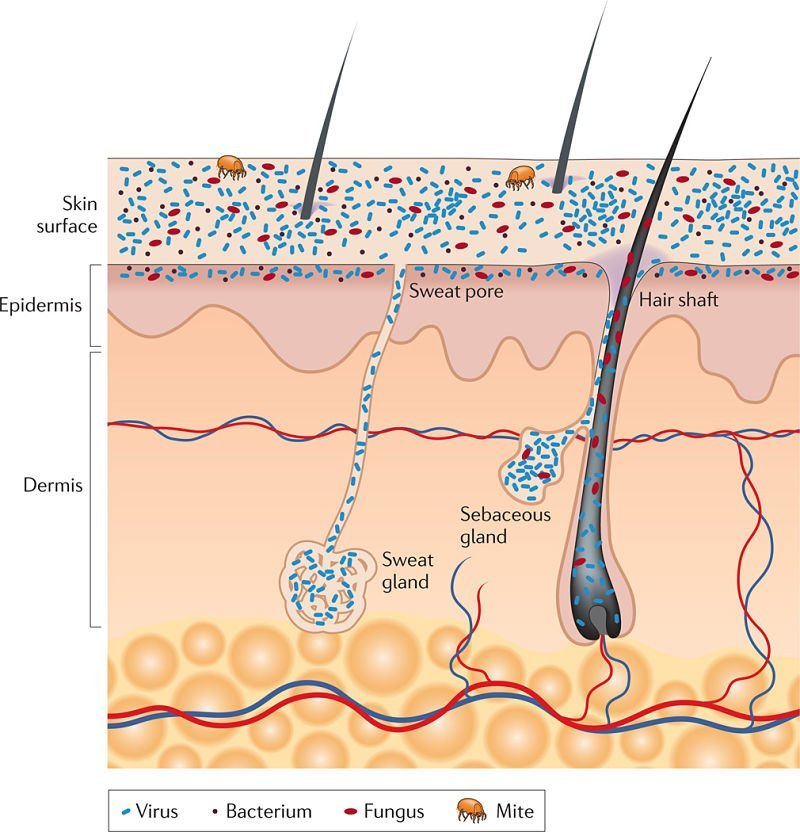 Diagram of skin microbiome